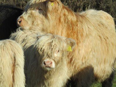 Calf Weaning – Help!