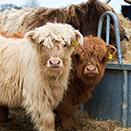 Luxury Log Cabin - Highland cows