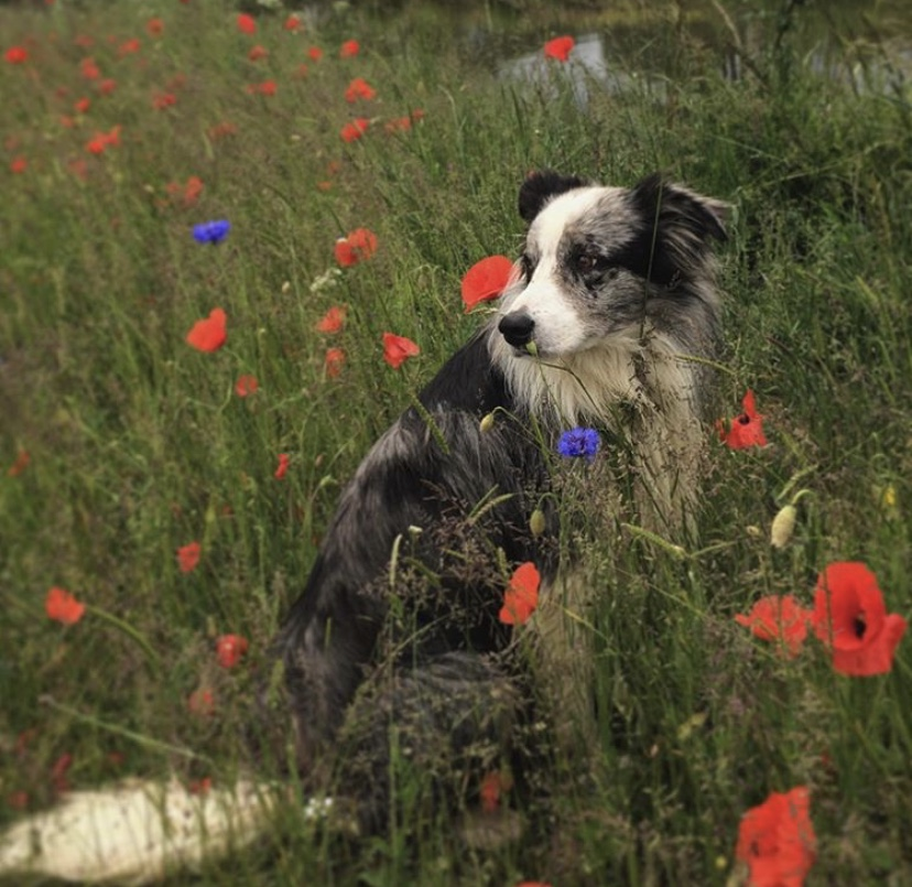 Sheep dog in poppy field