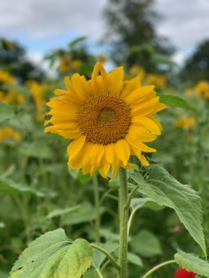 Sunflower field raises £4,500 for Marie Curie